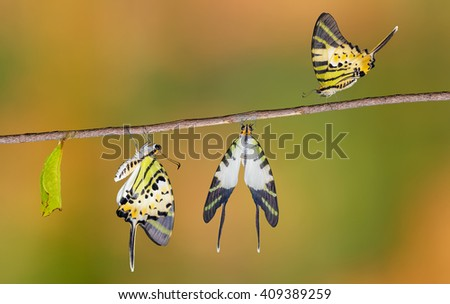 Five bar swordtail butterfly  life cycle  (antiphates pompilius) - stock photo
