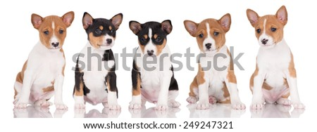 five basenji puppies sitting in a row