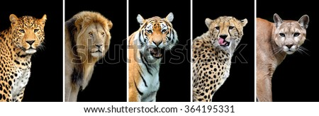 Five big wild cats (leopard, tiger, lion, cheetah, puma) - stock photo