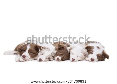 Five border collie puppy dogs in a row in front of a white background - stock photo