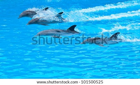 five bottle nose dolphin swiming in the pool - stock photo