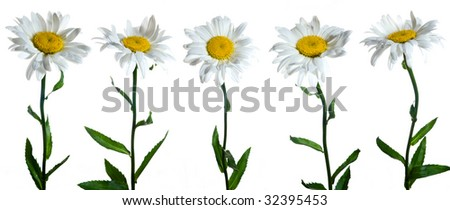 Five camomile flowers on white background - stock photo