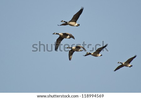 Five Canada Geese Flying in Blue Sky - stock photo