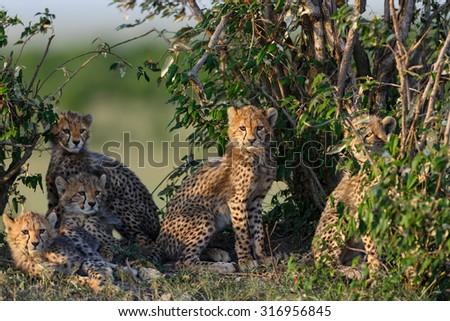 Five Cheetah cubs in Masai Mara, Kenya - stock photo