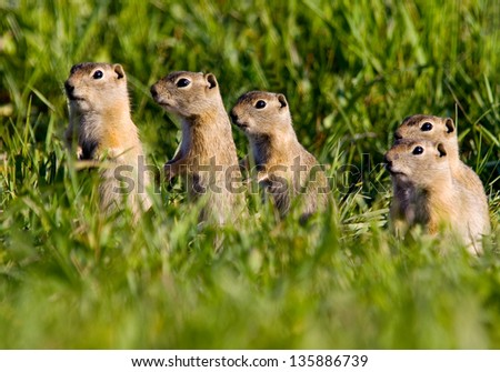 Five Colorado Prairie Dogs - stock photo