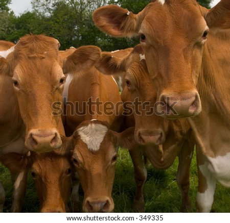 Five cows having a look - stock photo