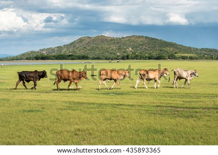 five cows walk in grass field at farm with mountain background in sunny day clouds and blue sky after grazing glasss - stock photo
