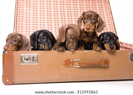 Five dachshund puppies in a suitcase (isolated on white) - stock photo