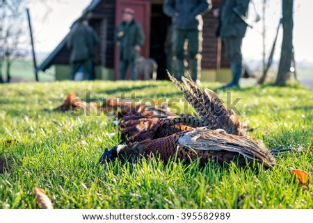 Five dead pheasants lying in a grass after successful hunt. Selective focus. - stock photo