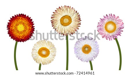 Five Different Strawflowers Isolated on White Background - stock photo