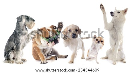 five dogs say hello in front of white background - stock photo