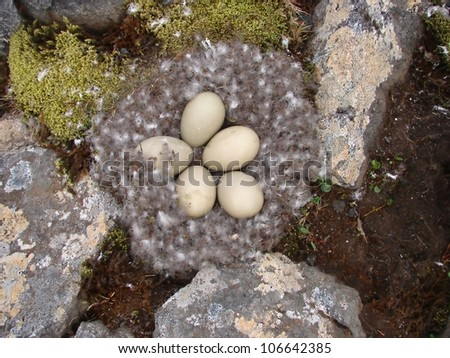 Five eggs in nest oh eider (duck) on island Jan Mayen - stock photo