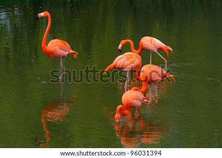 Five flamingos feeding - stock photo