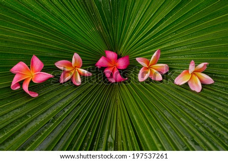 Five frangipani and wet palm leaf texture - stock photo
