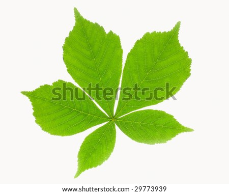 five green chestnut leaves - stock photo