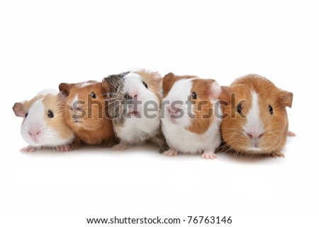 five guinea pigs in a row on a white background - stock photo