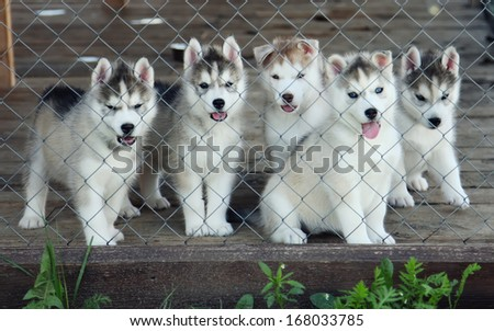 five husky puppies in a cage - stock photo