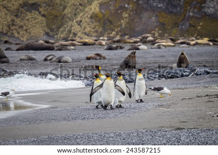 Five king penguins walk on beach with elephant seals in Falkland islands - stock photo