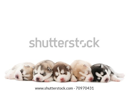 five little cute sleeping puppy of Siberian husky dog isolated - stock photo
