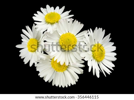 five little daisies on black background  - stock photo