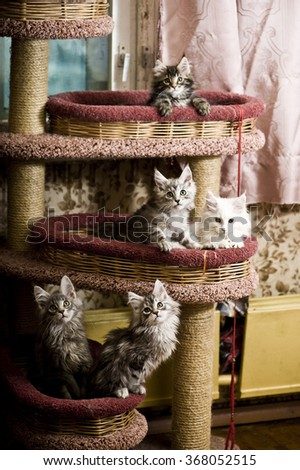 Five maine coon kittens - stock photo
