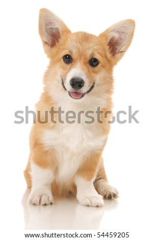 five-month puppy in studio on white background