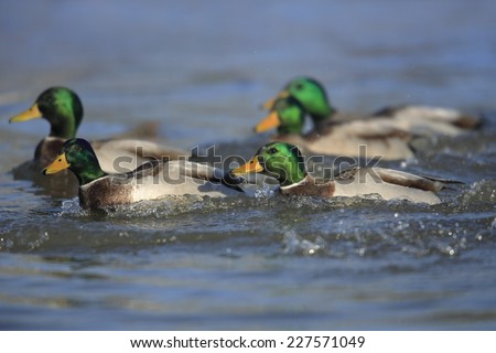 Five northern mallard ducks swimming - stock photo