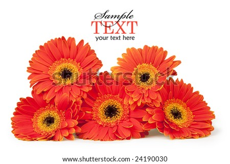 Five orange and yellow gerber daisies stacked, isolated on white with clipping path and sample text - stock photo
