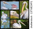 Five photos mosaic of pelicans - stock photo