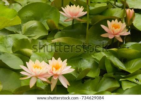 Five Pink Lotus Flowers Leaves Myanmar Stock Photo Royalty Free