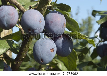 Five plums on the branch of a trees in an orchard - stock photo