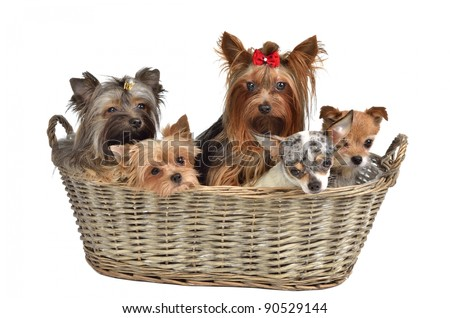 Five puppies in a basket, isolated on white background