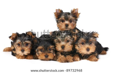 Five puppies of the Yorkshire Terrier isolated on white - stock photo