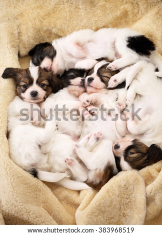 Five puppies sweet sleep on their backs - stock photo