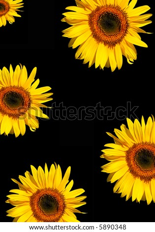 Five sections of sunflower flowerheads in full bloom against a black background. - stock photo