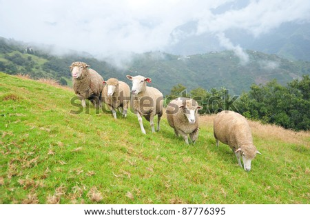 Five sheep running together on a mountain slope at Chinjing Veterans Farm, Taiwan - stock photo