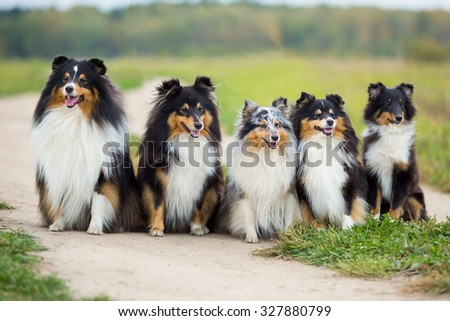 Five Sheltie dog breed sitting in the background of green field - stock photo