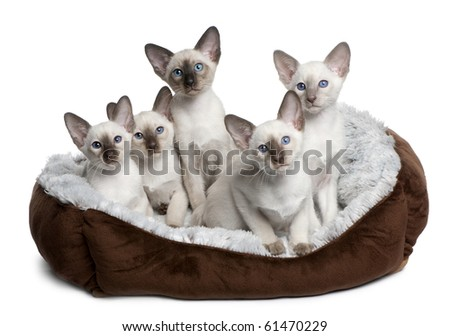 Five Siamese Kittens, 10 weeks old, sitting in cat bed in front of white background - stock photo