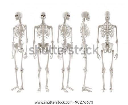 front view of the human skeleton stock images  royalty