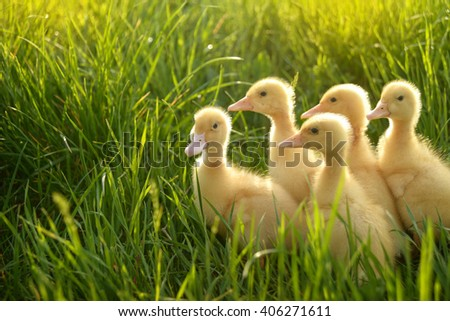 five small ducklings outdoor in on green grass - stock photo
