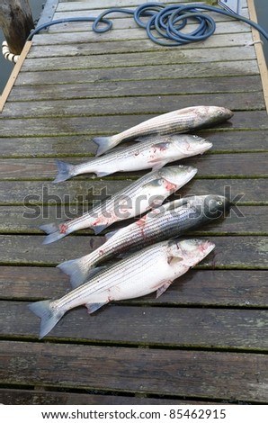 Five striped bass laying on a wooden dock after being caught on a fishing trip. - stock photo