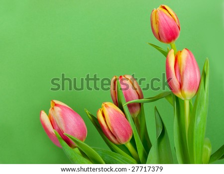 Five tulips framing a green card - stock photo