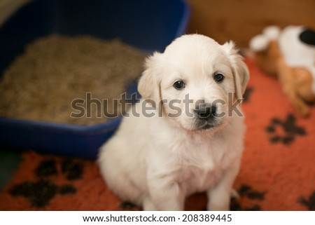 Five weeks old golden retriever puppy