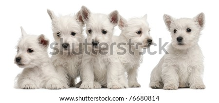 Five West Highland Terrier puppies, 7 weeks old, in front of white background - stock photo