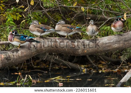 Five Wood Ducks relaxing on a log. - stock photo