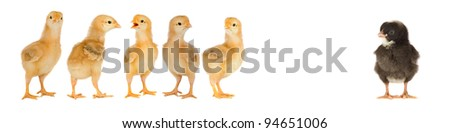 Five yellow chicks and one black chick isolated on a over white background - stock photo