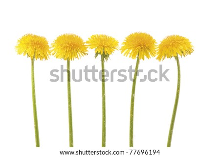 Five yellow dandelion in a row on white background. Horizontal composition. - stock photo