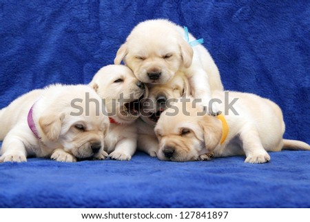 five yellow labrador puppies on blue background