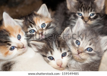Five young stray kittens with blue eyes cuddled together for warmth at nap time. - stock photo