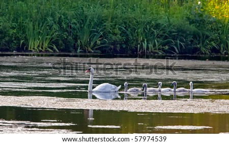 Five young swans follow their mother on a quiet pond. - stock photo